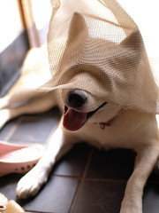 Blindfolded Dog